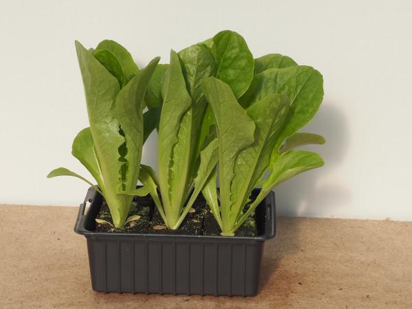 Salat - Lattich grün