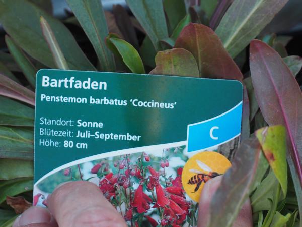 Penstemon barbatus 'Coccineus' P 1