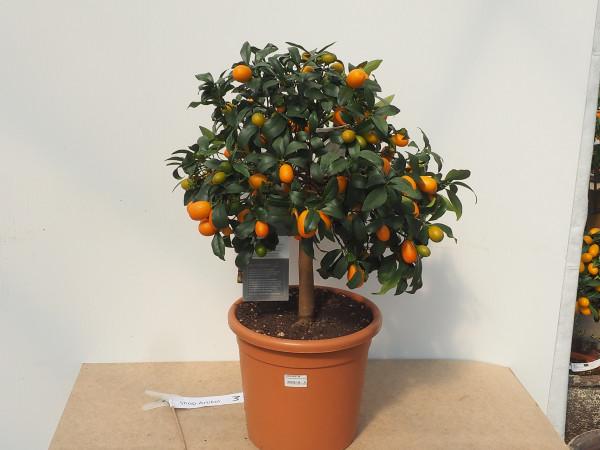 Kumquat Stamm kurz