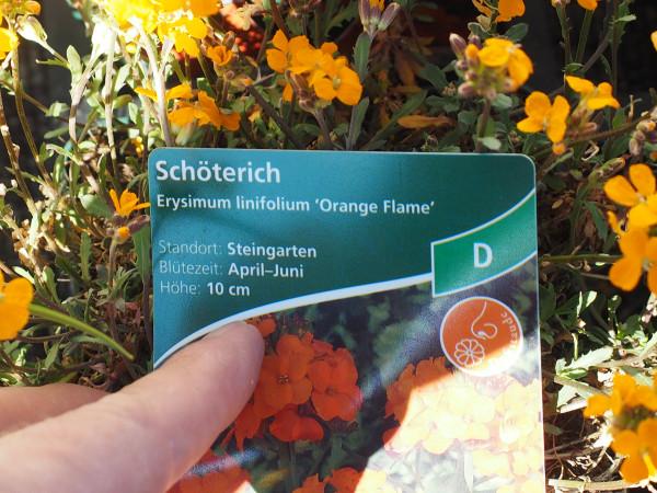 Erysimum linifolium 'Orange Flame' P 1