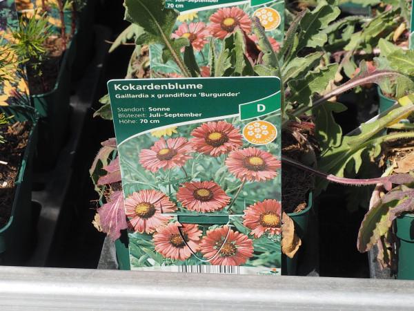 Gaillardia x grandiflora 'Burgunder' P 1