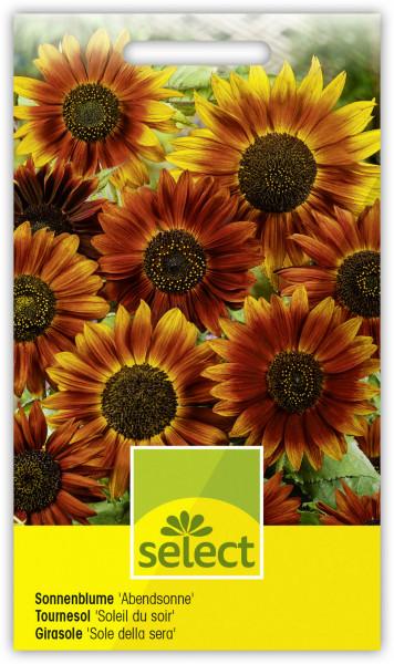 Sonnenblume 'Abendsonne'