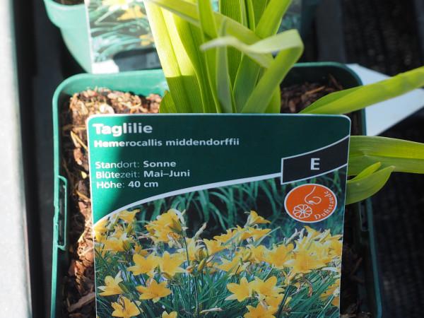 Hemerocallis middendorffii P 1