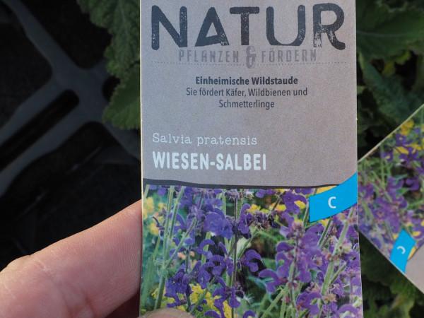 Salvia pratensis P 1 WS