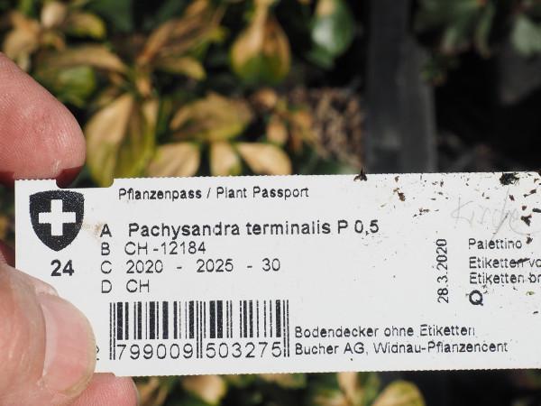 Pachysandra terminalis P 0,5