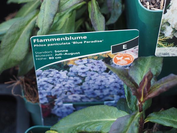 Phlox paniculata 'Blue Paradise' P 1