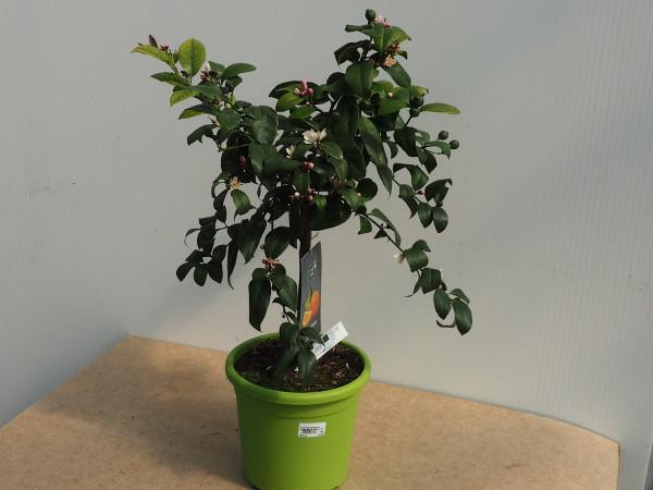 Mandarinen Lime Time Stamm