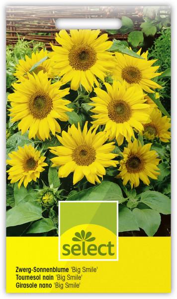 Zwerg-Sonnenblume 'Big Smile'