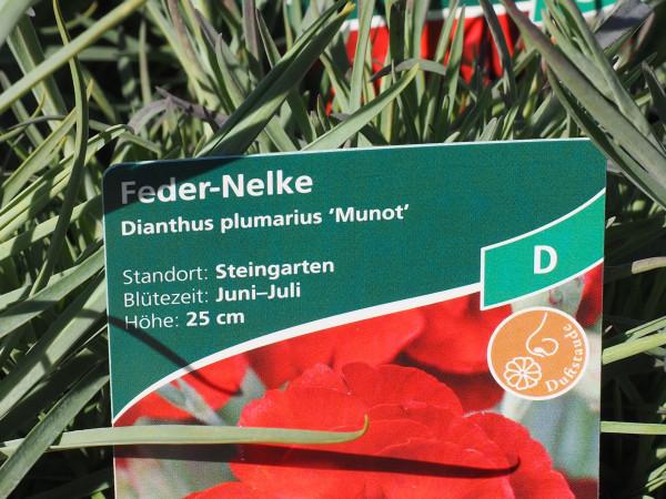 Dianthus plumarius 'Munot' P 1 #