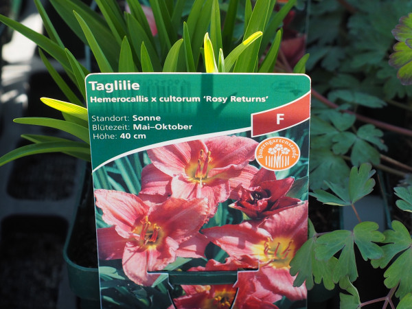 Hemerocallis x cultorum 'Rosy Returns'