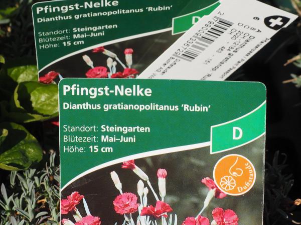 Dianthus gratianop. 'Rubin' P 1 #