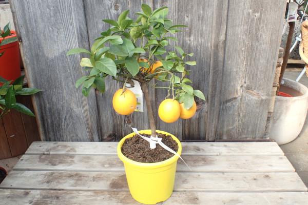 Lemon Time Meyerzitrone