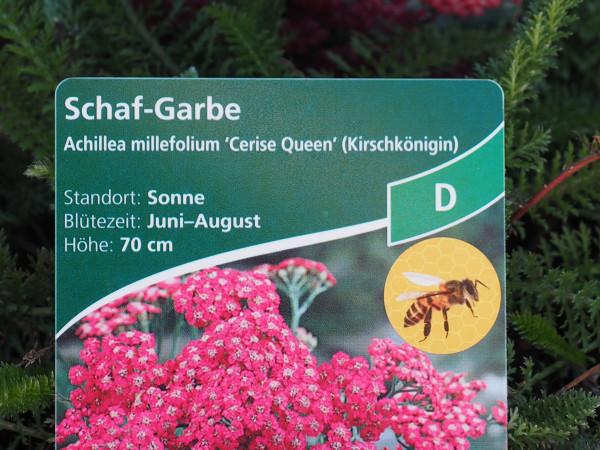Achillea millefolium 'Cerise Queen' P 1