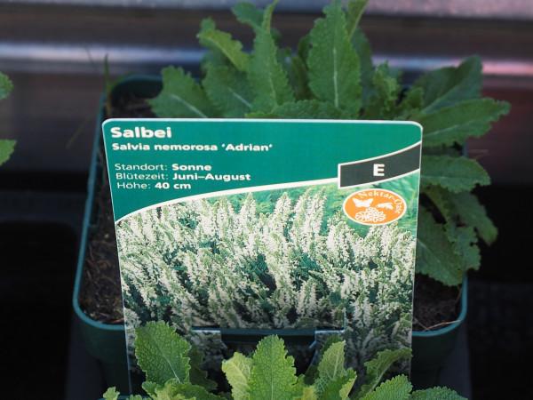 Salvia nemorosa 'Adrian' P 1