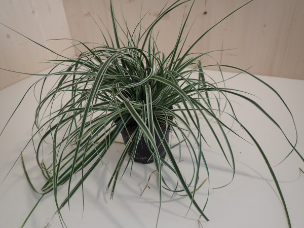 Carex hachijoensis 'Everest'