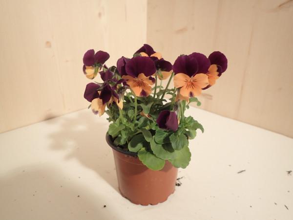 Viola cornuta orange m violet Flügel