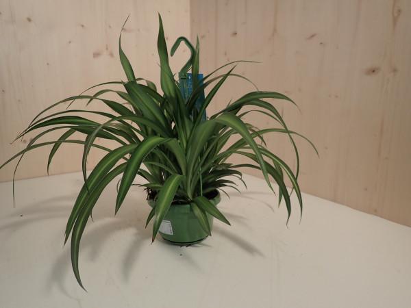 Chlorophytum comosum Hawaiian