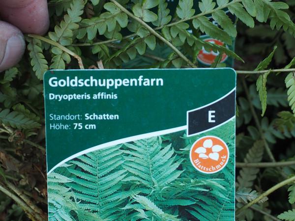 Dryopteris affinis P 1