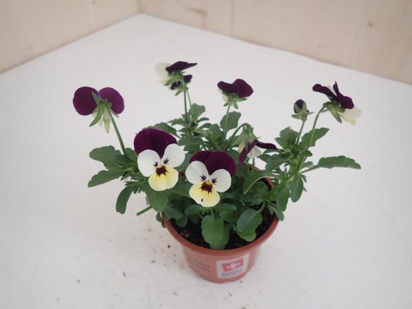 Viola cornuta hellgelb-weiss- lila