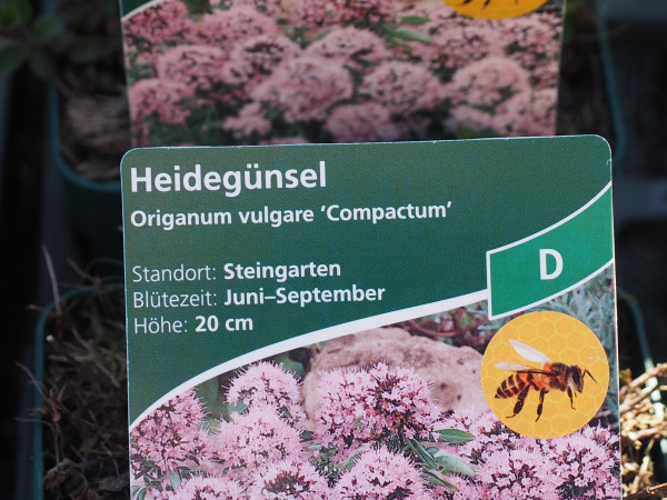 Origanum vulgare 'Compactum' P 1