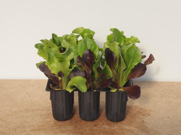 Salat - Pflücksalat Baby Leaf