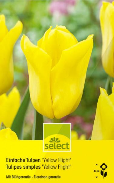 Einfache Tulpen 'Yellow Flight'
