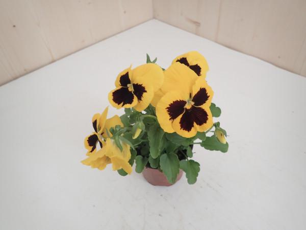 Viola x wittrockiana gelb - Aug