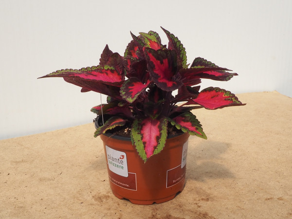 Coleus Ruby Road