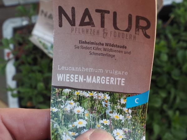 Leucanthemum vulgare P 1 WS