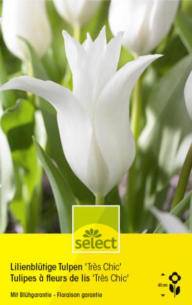 Lilienblütige Tulpen 'Très Chic'
