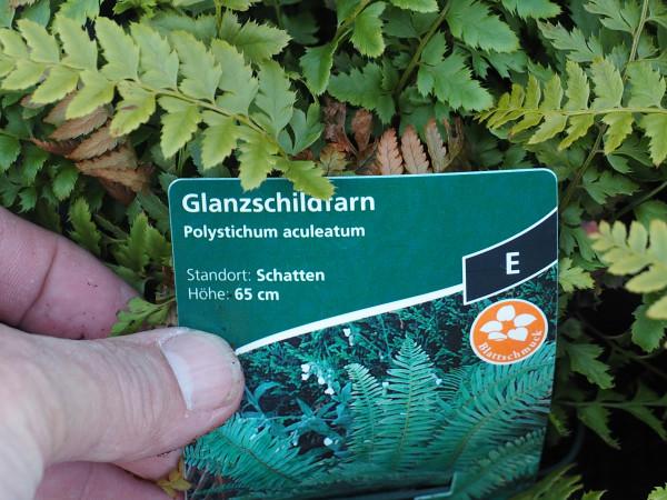 Polystichum aculeatum P 1