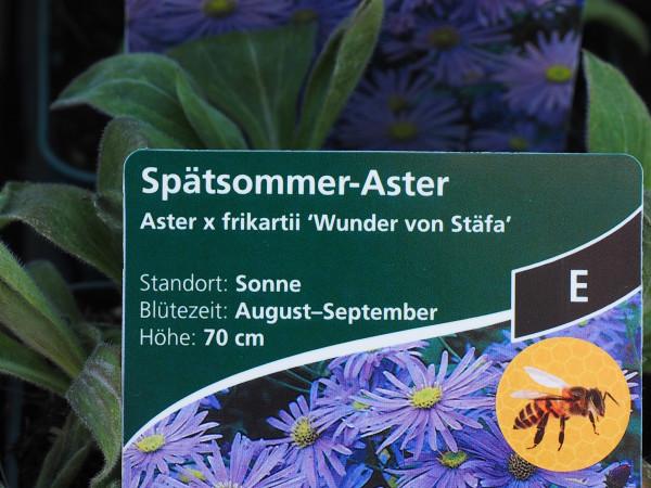 Aster x frikartii 'Wunder von Stäfa' P 1