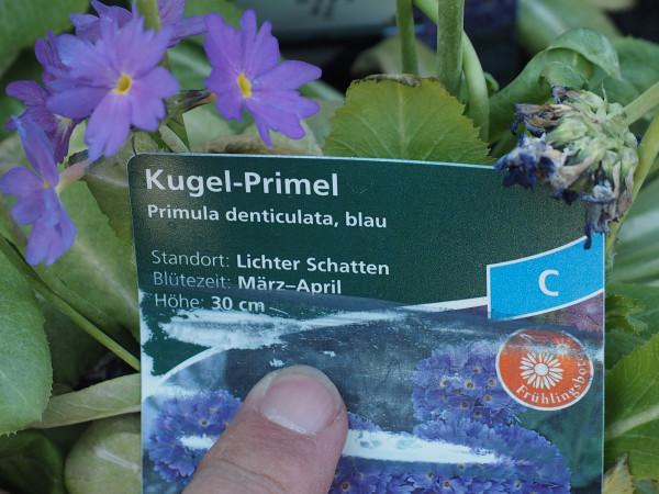 Primula denticulata, blau P 1