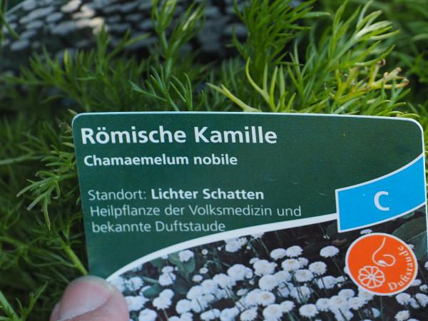 Chamaemelum nobile P 1