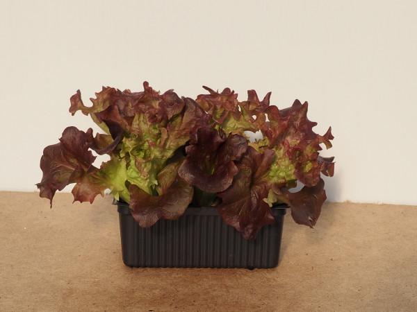 Salat - Lollo Rossa