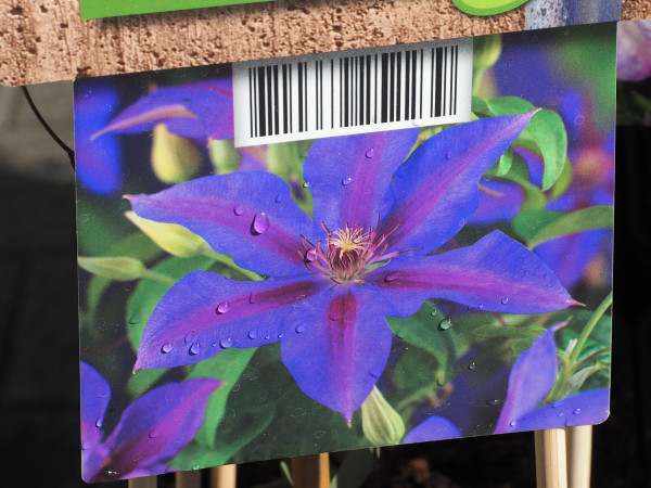 Clematis 'Mrs. N. Thompson'