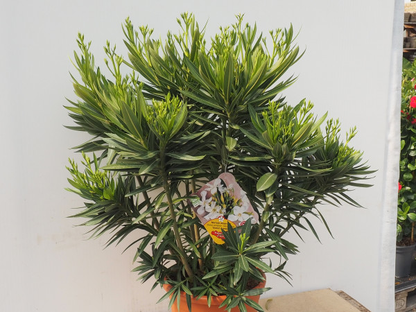 Nerium Oleander Busch weiss