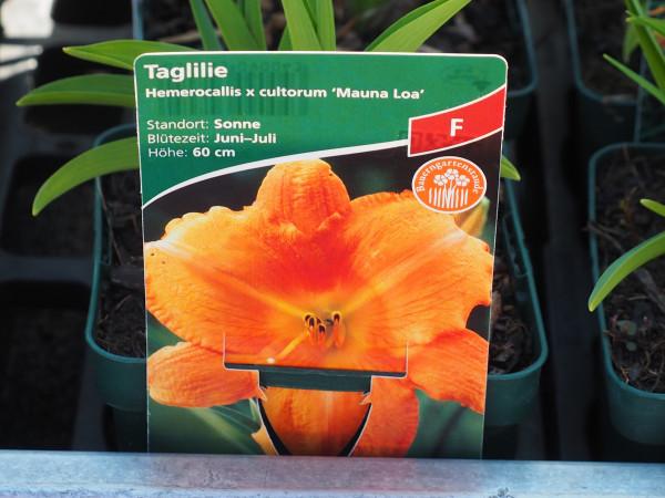 Hemerocallis x cultorum 'Mauna Loa'