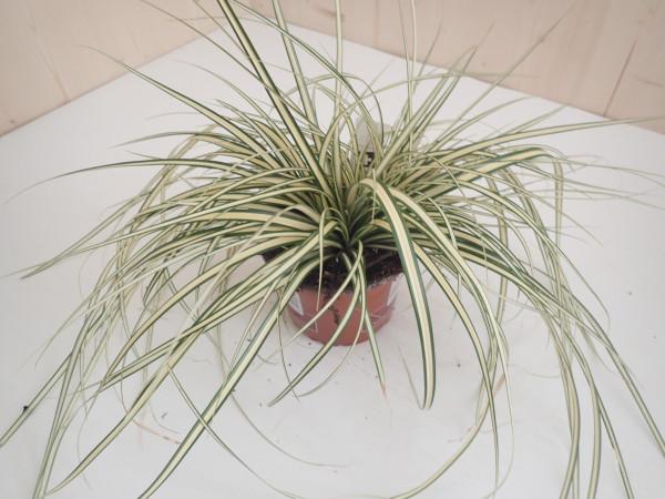 Carex Gold