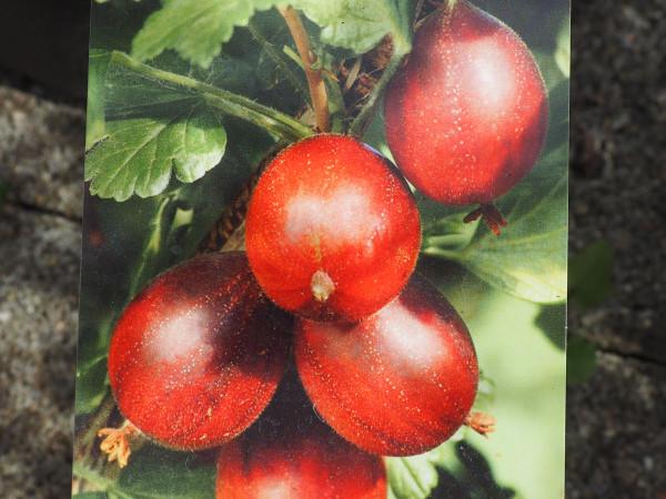 Stachelbeere Rote Eva