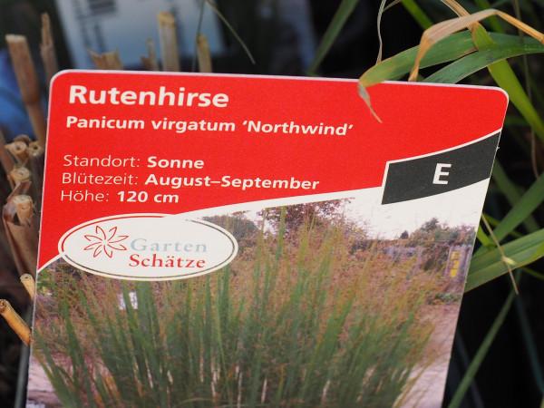 Panicum virgatum 'Northwind' P 1