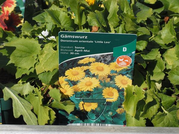 Doronicum orientale 'Little Leo' P 1
