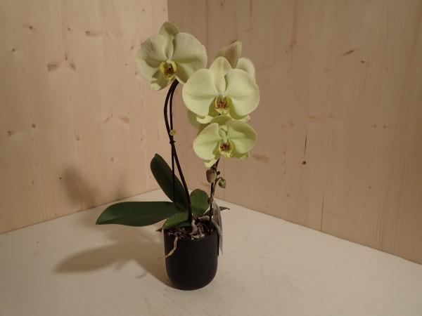 Phalaenopsis gelb