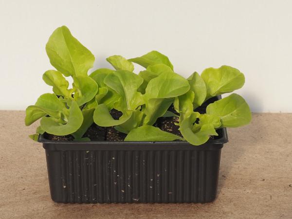 Salat - Eichblattsalat grün