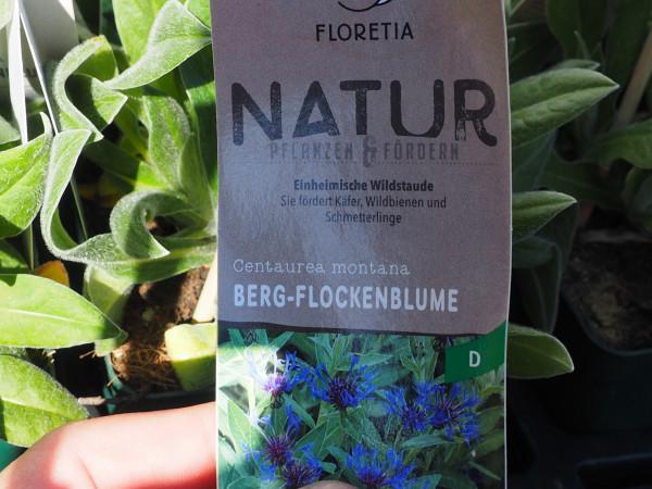 Centaurea montana P 1 WS