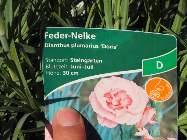 Dianthus plumarius 'Doris' P 1