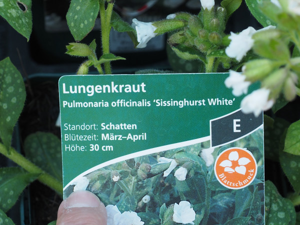 Pulmonaria officinal.'Sissinghurst White' P 1