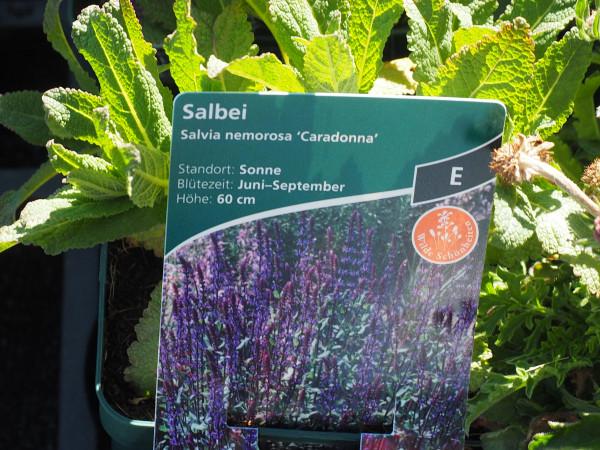 Salvia nemorosa 'Caradonna' P 1