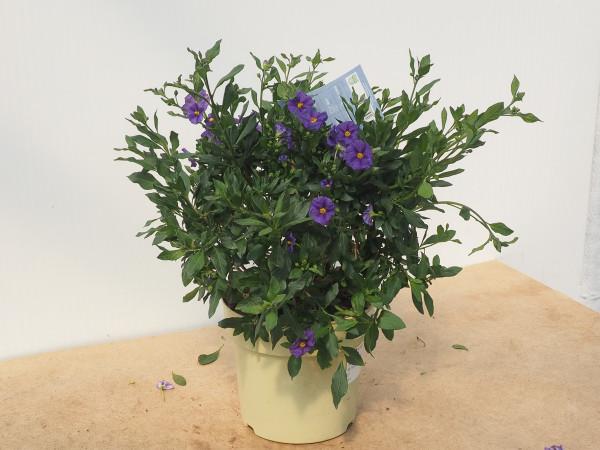 Solanum rantonnetii Busch blau
