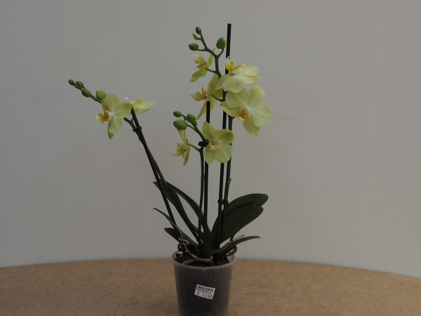 Phalaenopsis creme